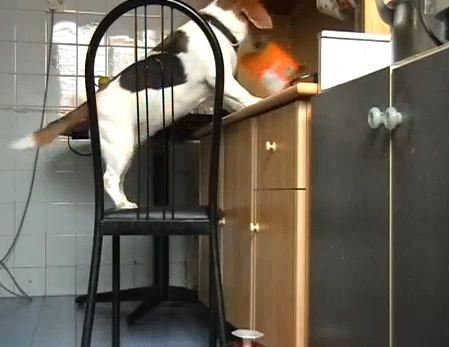 犬 椅子を使ったつまみ食い04