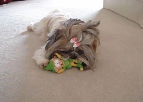 犬 人形を咥えたシーズー00