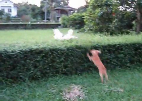 犬 飛び越える犬と越えられない犬03