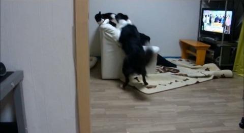 犬猫 誘い上手なボーダーコリー05