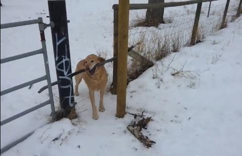 犬 枝が引っかかって05