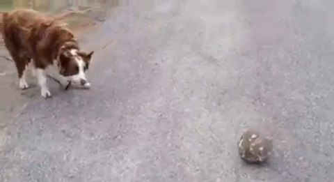 犬 ボールをパスして遊び続ける00