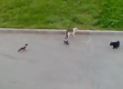 猫 vsカラス2匹と黒猫02