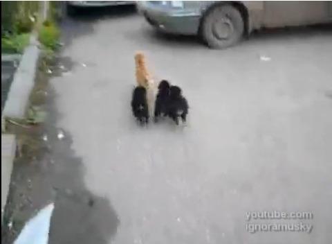 犬猫 子犬に襲われる猫07