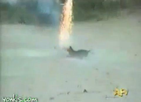 犬 花火を咥えて暴走02