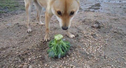 柴犬 野菜大好き00