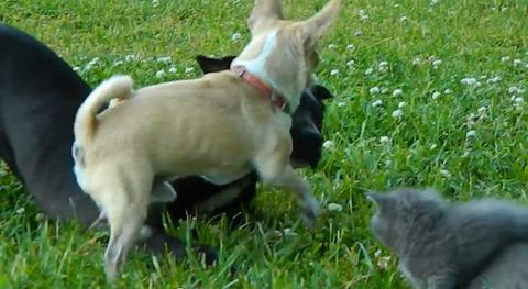 犬猫 チワワブロック05