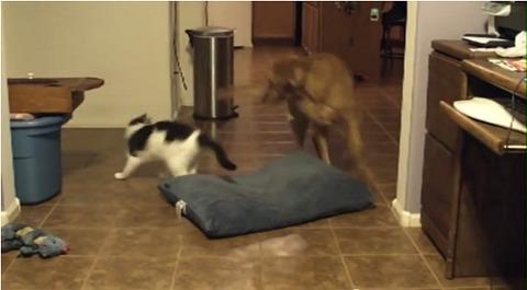 犬猫 猫のクッションを引っ張る06