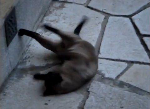 猫 rollで回転する04