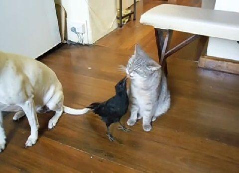 犬猫 カラスに餌をもらう01