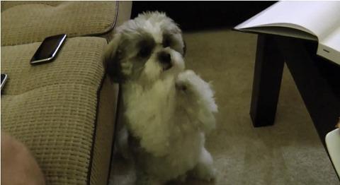 犬 クッキー欲しいシーズー01