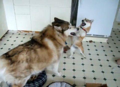 柴犬 年寄り狼と遊ぶ01