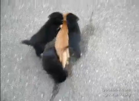 犬猫 子犬に襲われる猫06