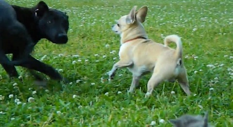 犬猫 チワワブロック07