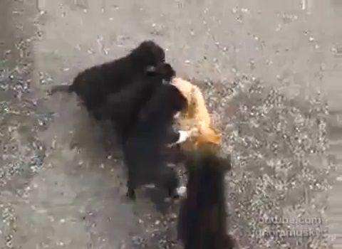 犬猫 子犬に襲われる猫02