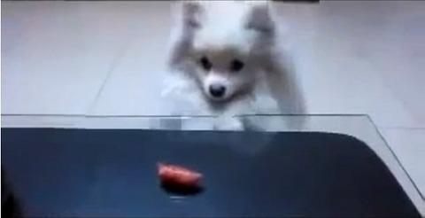 犬 白ポメ 届かない01