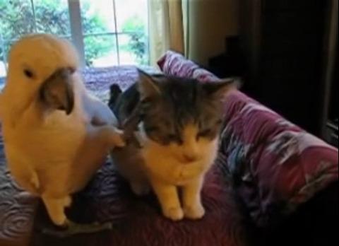 子猫 オウムがナデナデ02