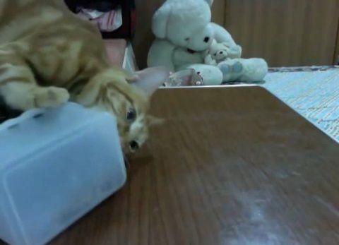 猫 タッパーを開けて欲しくて00