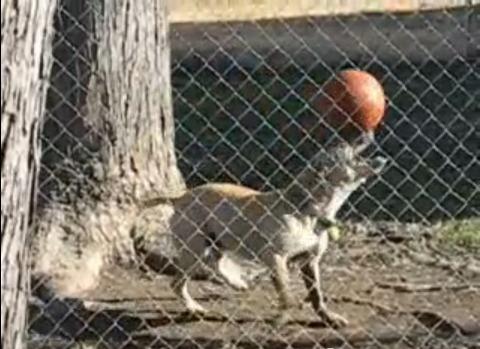 犬 ボールを頭に07