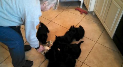 子犬 5匹がミルクを飲みながらグルグル01
