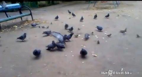 犬 鳩に突撃00