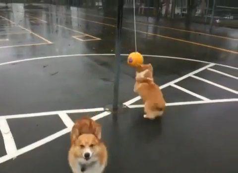 犬 つるしたボールで遊ぶコーギー03