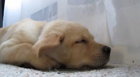 子犬 風で耳がパタパタ01