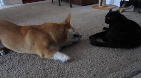 犬猫 ぶつぶつコーギー06