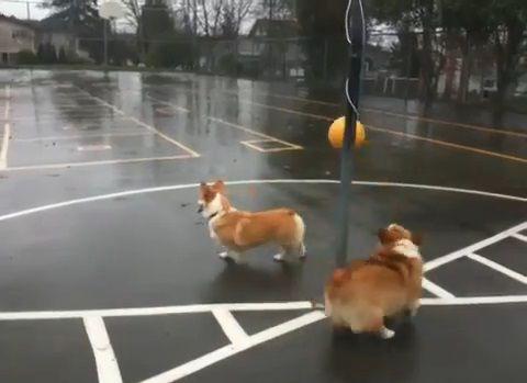 犬 つるしたボールで遊ぶコーギー02
