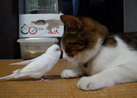 猫 インコにちょっかいされる06