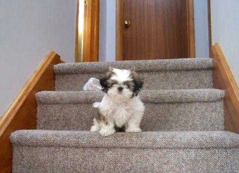 子犬 シー・ズーが階段をちょっとずつ降りる01