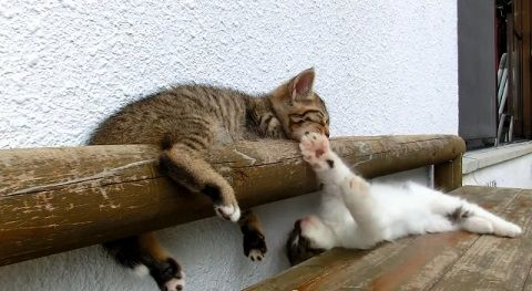子猫 寝ている子猫に遊んで欲しい04