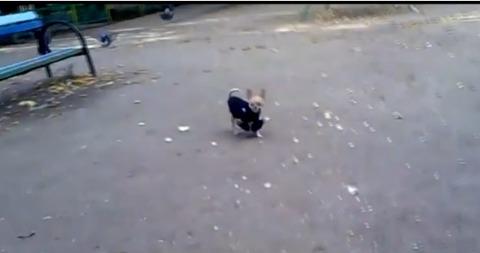 犬 鳩に突撃06