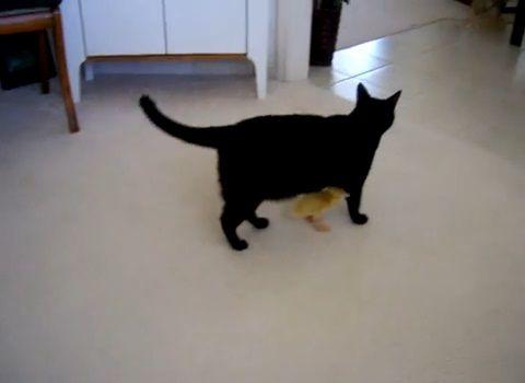 猫 アヒルの雛がついてくる00