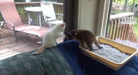 子猫 アライグマをぺしぺし01