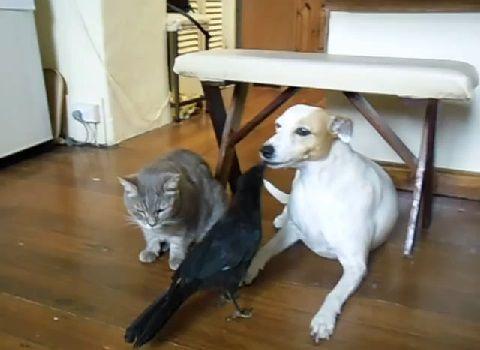 犬猫 カラスに餌をもらう03