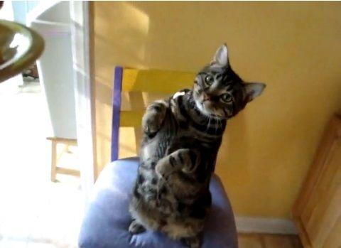 猫 かわいい仕草で餌ちょうだい01