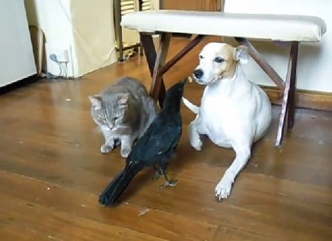 犬猫 カラスに餌をもらう02