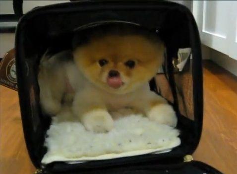 犬 キャリーバッグ好きなポメ03