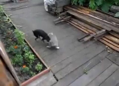 犬猫 犬が猫を背負って04