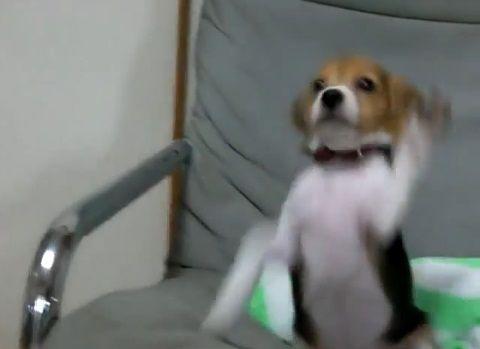 犬 呼ばれても、椅子の上から降りられない06