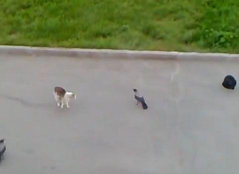 猫 vsカラス2匹と黒猫00