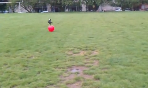 犬 大きなボールを追いかけて跳ね飛ばされる03