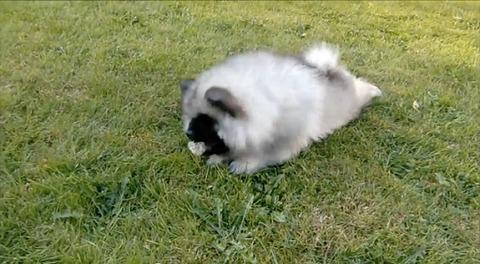 子犬 vsタンポポ04