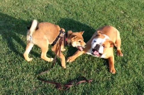 柴犬vs 07