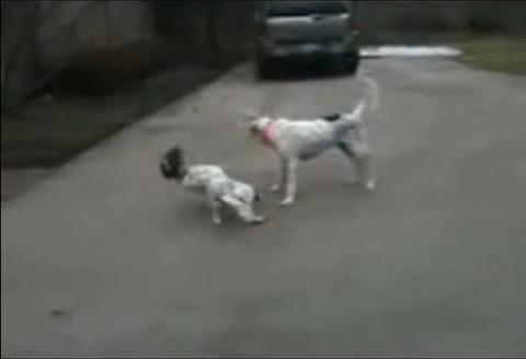 犬 なぜか倒れる05