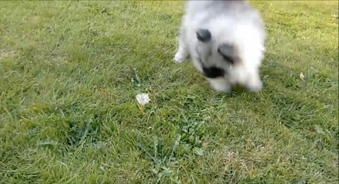 子犬 vsタンポポ05