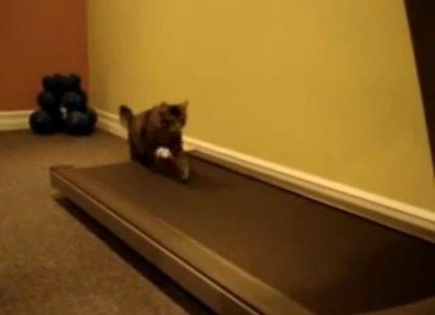 猫 ルームランナーで歩こうと01
