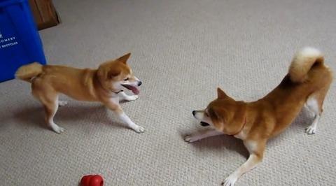 柴犬vs 03