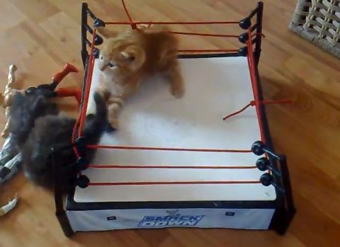 子猫 2匹でプロレス02